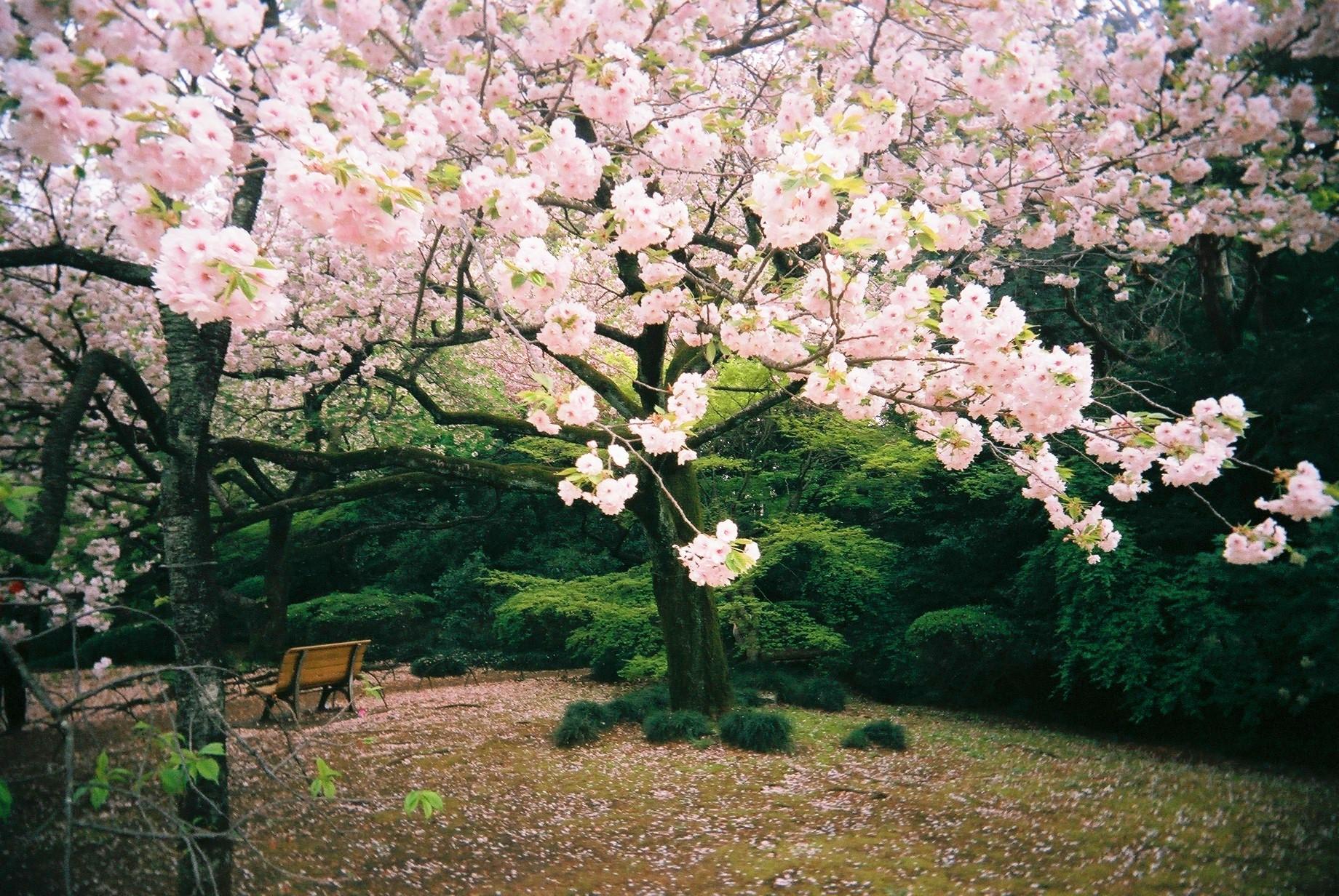 Sakura di Shinjuku Gyoen Picture Google