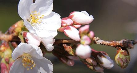 Perkiraan Mekar Sakura seluruh Jepang 2016