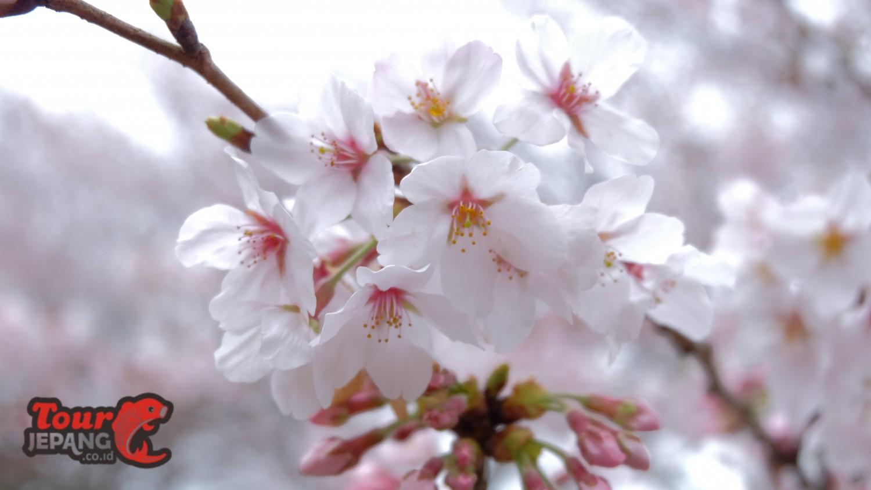 """Paket Tour Jepang """"Sakura"""" 28 Maret – 1 April 2017"""