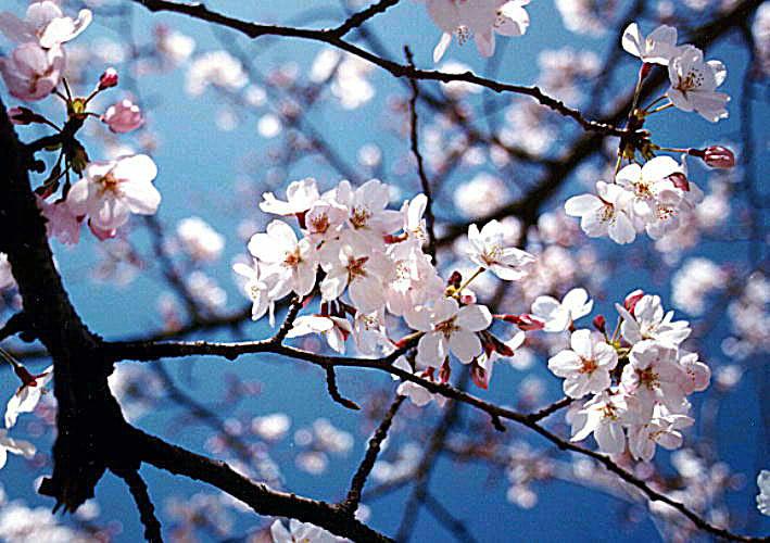 bunga-sakura2
