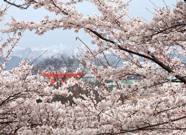 7 Hari di Jepang Perjalanan Musim Semi, Tur Bunga Sakura