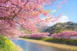 Menikmati Keindahan Sakura Dalam : Kawazu Cherry Blossom Festival 2018