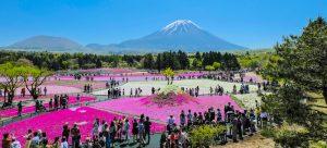 Hamparan Shibazakura ; Bunga Indah Pelengkap Musim Semi di Jepang