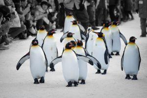 Mau Tahu Bagaimana Parade Pinguin? Di Wisata Jepang Asahiyama Zoo Hokkaido Anda Bisa Menyaksikannya