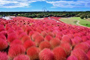 Berkunjung ke Tokyo Namun Melewatkan Wisata Jepang Bunga Hitachi Seaside Park Jepang? Dijamin Akan Menyesal!