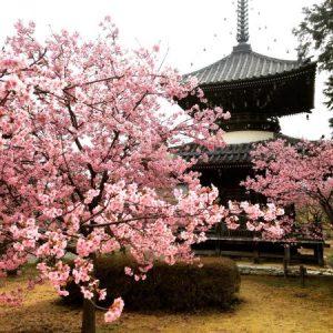 Rekomendasi 8 Spot Sakura Mekar Tersembunyi di Kyoto